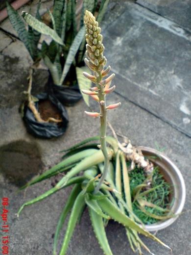medicinal plant_Aloe vera_lidah buaya 2