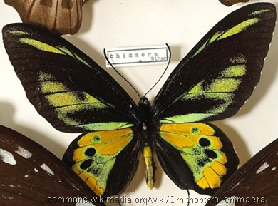 Ornithoptera.chimaera.male