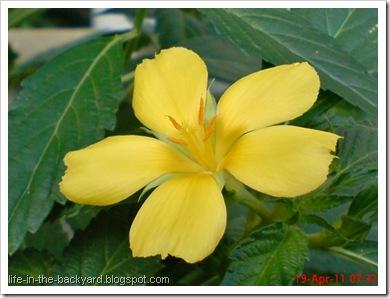 Turnera ulmifolia_ramgoat dashalong 2