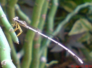Copera marginipes_Yellow Featherlegs_capung jarum 10