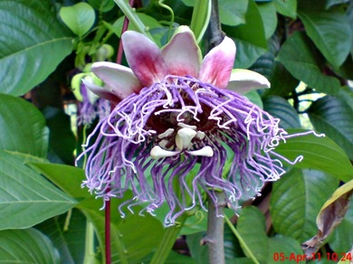 Passiflora quadrangularis_Markisa Besar_Erbis_Giant Granadila 03