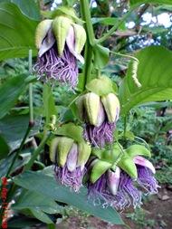 Passiflora quadrangularis_Markisa Besar_Erbis_Giant Granadila 14