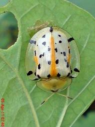 Aspidomorpha miliaris_tortoise beetles 05