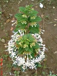 Clerodendrum calamitosum_Kembang Bugang_White Butterfly 03