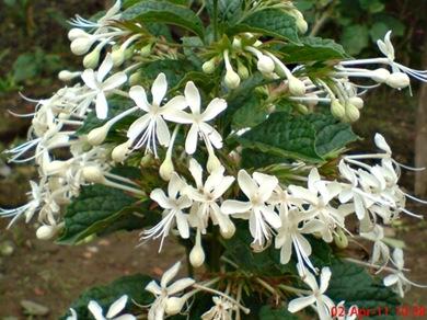 Clerodendrum calamitosum_Kembang Bugang_White Butterfly 06
