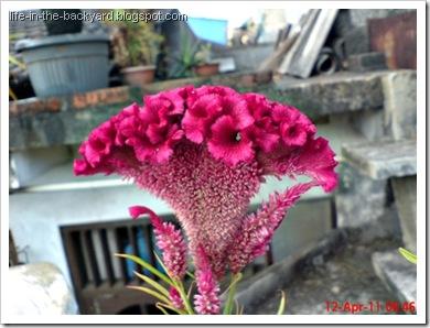 bunga jengger ayam_Celosia cristata 01