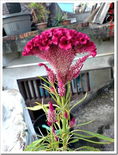 bunga jengger ayam_Celosia cristata 03