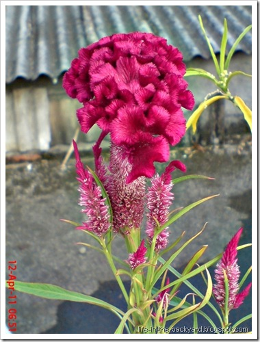 bunga jengger ayam_Celosia cristata 07