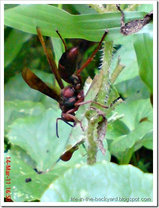 green grasshopper attacked by wasp 1