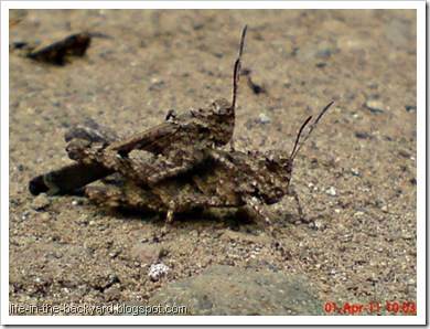 brown grasshopper mating 01