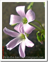 Oxalis triangularis_False Shamrock 4