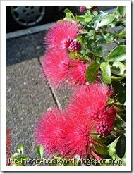 Calliandra tergemina_Kaliandra_Powderpuff Plant 12