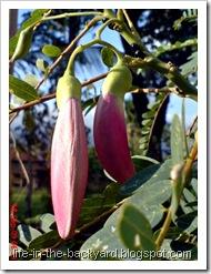 Sesbania grandiflora_turi merah 20