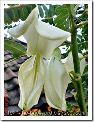 Sesbania grandiflora_turi putih 12