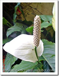 Spathiphyllum wallisii_Peace Lily 05