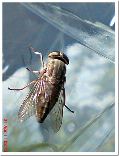 lalat kebo 3