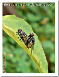 Fly Mating_Musca domestica_Lalat Rumah_House Fly 4