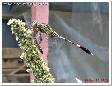 dragonfly eating dragonfly _foto capung badak makan capung
