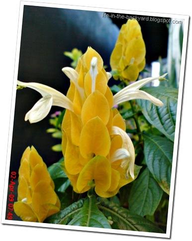 Bunga lilin_Pachysiachys lutea L