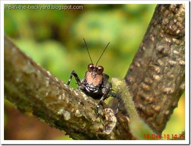 brown grasshopper with orange face9