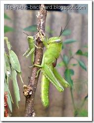 Valanga nigricornis_Javanese Grasshopper_belalang kayu 2