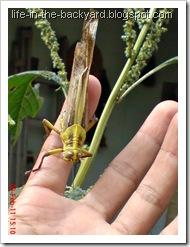 Valanga nigricornis_Javanese Grasshopper_belalang kayu 10