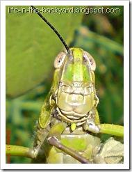 Valanga nigricornis_Javanese Grasshopper_belalang kayu 14