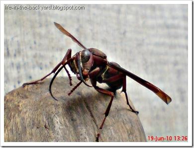 Polistes tenebricosus_Paper Wasp 4