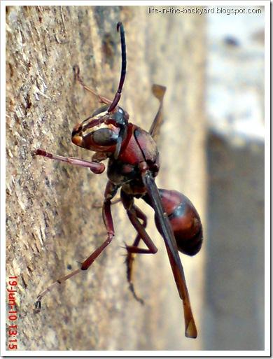 Polistes tenebricosus_Paper Wasp 1