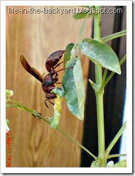 wasp caught and cut its prey 4
