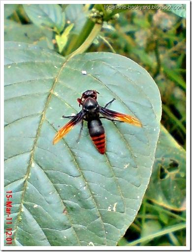 Rhynchium haemorrhoidale_tawon_Potter Wasp 4