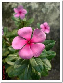 Foto bunga tapak dara merah catharantus roseus 4