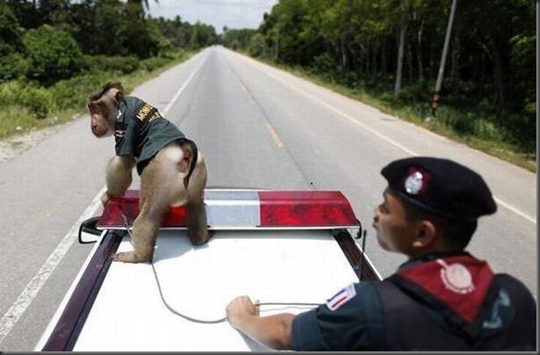 Policial macaco na Thailandia