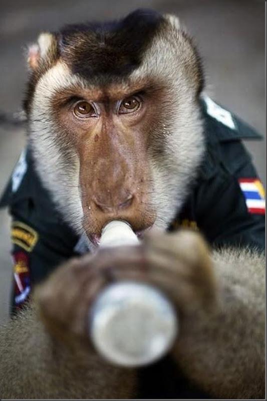 Policial macaco na Thailandia (3)