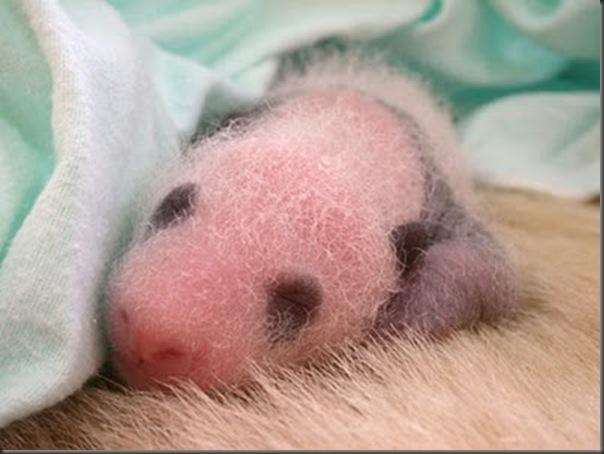 bebe panda (4)