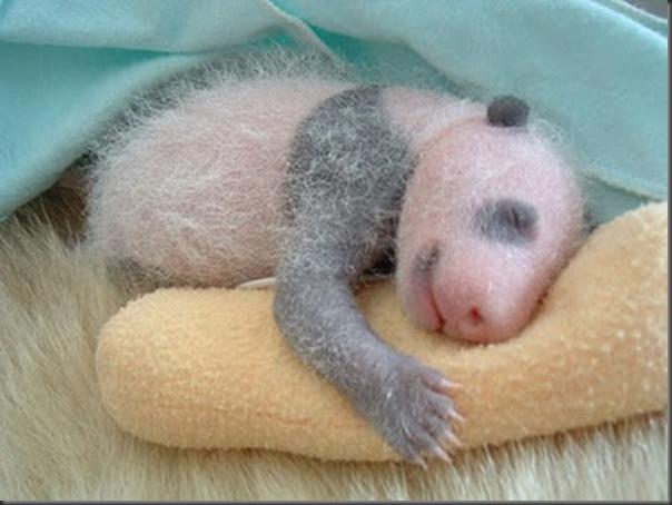 bebe panda (6)