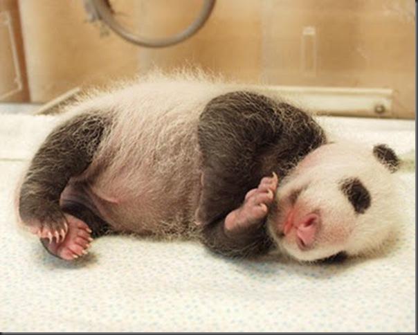 bebe panda (10)