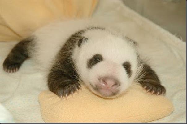 bebe panda (11)