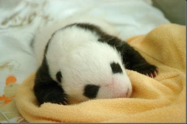bebe panda (13)
