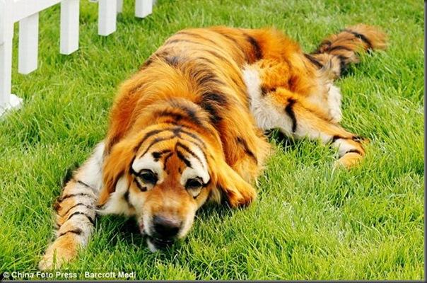Cães pandas e tigres na China (5)