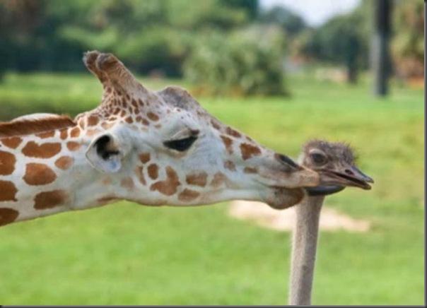 O amor entre uma girafa e um avestruz (9)