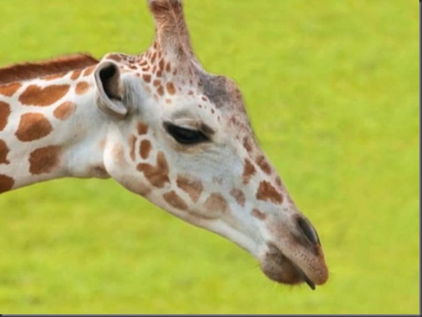 O amor entre uma girafa e um avestruz (4)