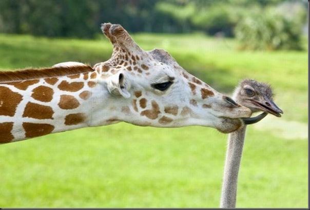 O amor entre uma girafa e um avestruz