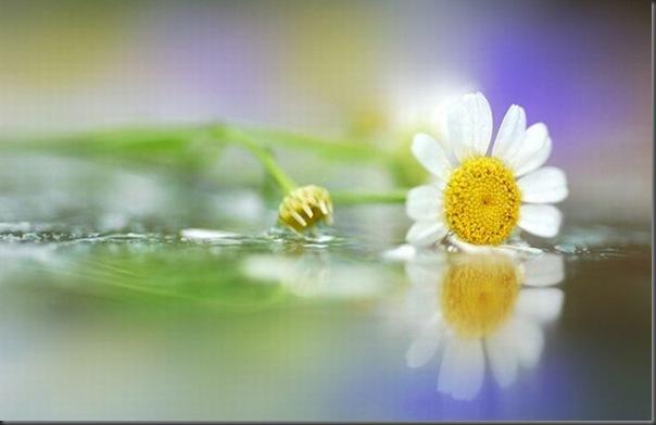 Lindas imagens de flores (8)
