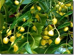 neemfruta