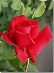 rosas-rojas-h