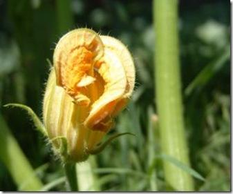 173211_zucchini_flower
