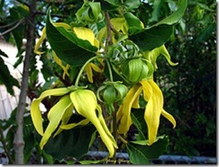 Ylang-large