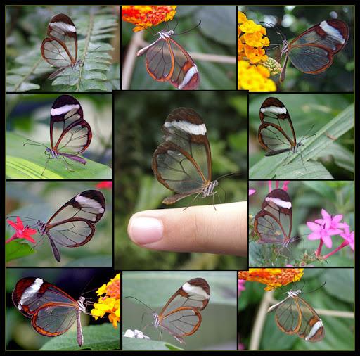 clear%20butterfly.jpg