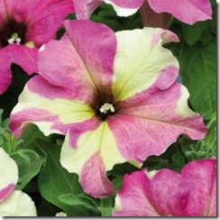 petunia Sophisticated bicolor